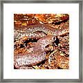 Leadback Salamander Pair Framed Print