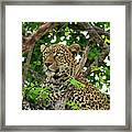 Leopard With Piercing Eyes Framed Print