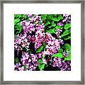 Lilacs In May Framed Print