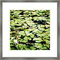 Lilies Of The Water Viii Framed Print
