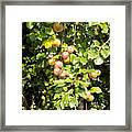 Lovely Apples On The Tree Framed Print