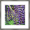 Lovely Lupines Framed Print