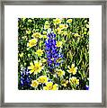 Lupine Amidst Tidy Tips Framed Print