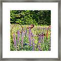 Lupine Festival - Sugar Hill New Hampshire Usa Framed Print