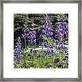 Lupines At The River Framed Print