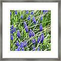 Lush Grape Hyacinth Framed Print