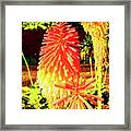 Madeira Funchal  Tritoma, Red Hot Poker, Torch Lily, Poker Plant Framed Print