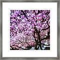 Magnificant Magnolias Framed Print