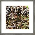 Mallard Mama With Duckling Framed Print