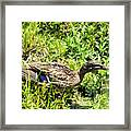 Mama Duck On Guard Framed Print