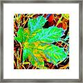 Maple Mania 21 Framed Print by Will Borden