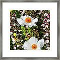 Matilija Poppies Framed Print