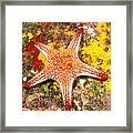 Mexico, Gulf Sea Star Framed Print