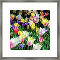 Mixed Tulips In Bloom  Framed Print