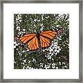 Monarch Butterfly On New Zealand Teatree Bush Framed Print