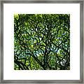Monkeypod Canopy Framed Print