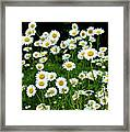 More Daisies  Framed Print