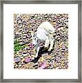 Mountain Goat3 Framed Print