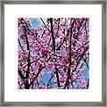 My Redbuds In Bloom Framed Print