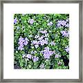 Natural Bush With Purple Small Flowers. Framed Print