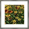 Nice Close Up Of Black Eyed Susans In Nature Framed Print