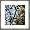Nuttalls Woodpecker  Framed Print