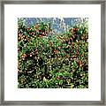 Okanagan Valley Apples Framed Print