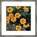 Orange Daisies--film Image Framed Print