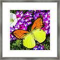 Orange Yellow Wings Framed Print
