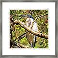 P2024983 Black Crowned Night Heron Framed Print