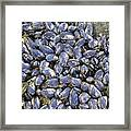 Pacific Blue Mussels Framed Print