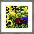 Pansies Of A Different Color Framed Print