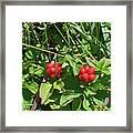Partridgeberries Framed Print