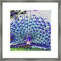 Pastel Peacock Framed Print