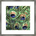 Peacock Feathers Framed Print by John Foxx