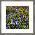 Phacelia Poppies Lupines Framed Print