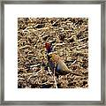 Pheasant On The Move Framed Print