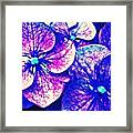 Pink And Blue Hydrangea Framed Print