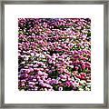 Pink Button Pom Flowers Framed Print