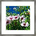 Pink Trumpet Flowers In Pilgrim Place In Claremont-california Framed Print