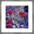 Pink Zinnia's Against A Silver Background Framed Print