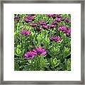 Prescott Park - Portsmouth New Hampshire Osteospermum Flowers Framed Print