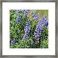 Pretty Blue Flowers Of Silky Lupine Framed Print