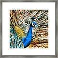 Proud As A Peacock Framed Print
