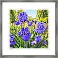 Pure Sapphire Iris Framed Print