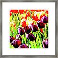 Purple And Peach Tulips 2 Framed Print