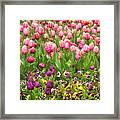 Purple And Pink Tulips In Canberra In Spring Framed Print