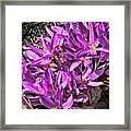 Purple Beauties Framed Print