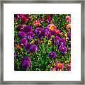 Purple Dahlias Framed Print