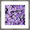 Purple Flowers - Rockcress Framed Print